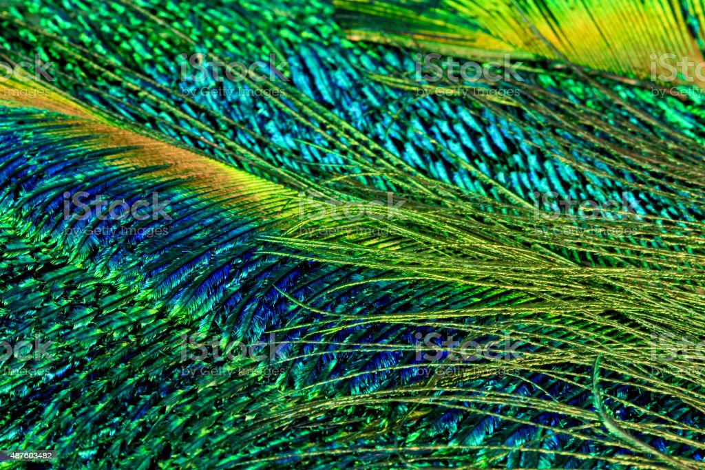 Macro Close Up of Iridescent Peacock Feathers stock photo