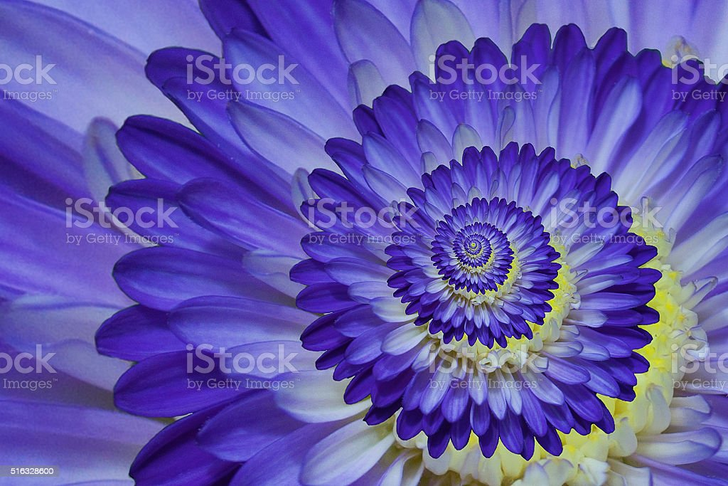 macro close up of purple dahlia stock photo