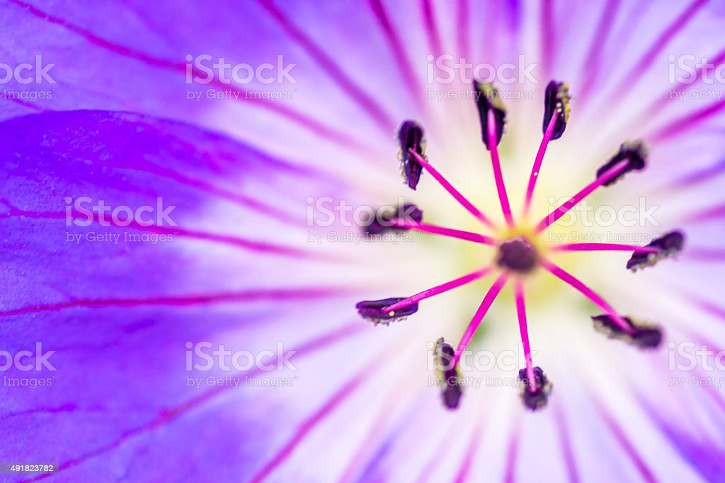 Macro closeup of a Purple flower Stamen stock photo