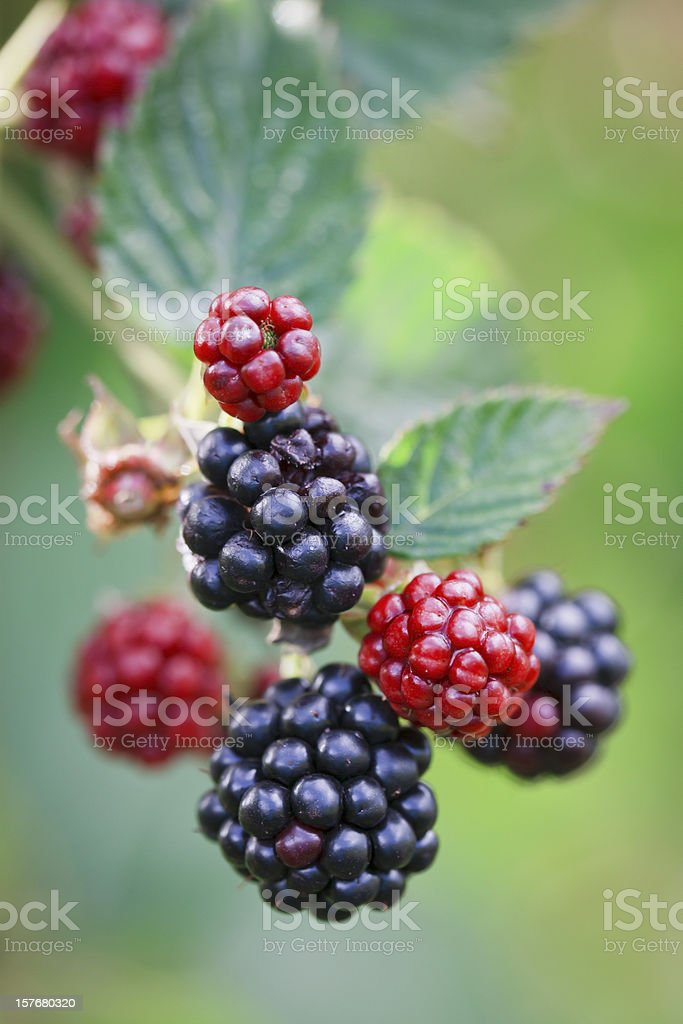 Macro close-up of blackberries ripening on a branch, backlit royalty-free stock photo
