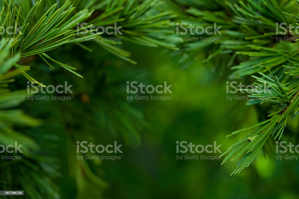Macro close-up of bright green Fir tree branches stock photo
