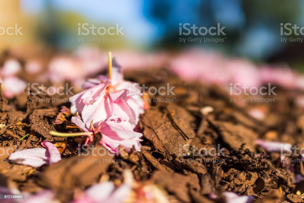 Macro closeup of cherry blossom sakura flower petals lying on brown mulch stock photo