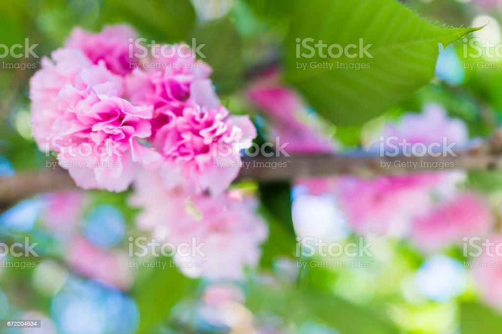 Macro closeup of cherry blossom sakura flowers hanging off tree with green leaves stock photo