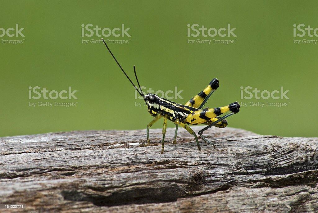 Macro closeup of  grasshopper on wood royalty-free stock photo