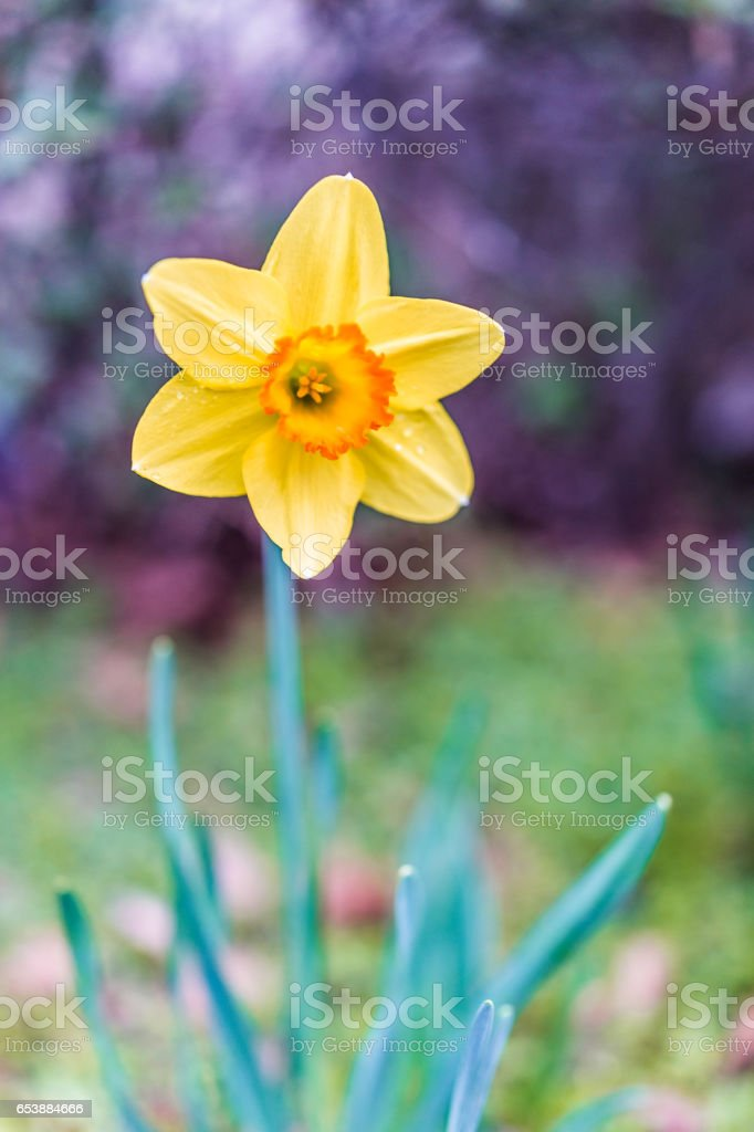 Macro closeup of one orange and yellow daffodil with water drops stock photo