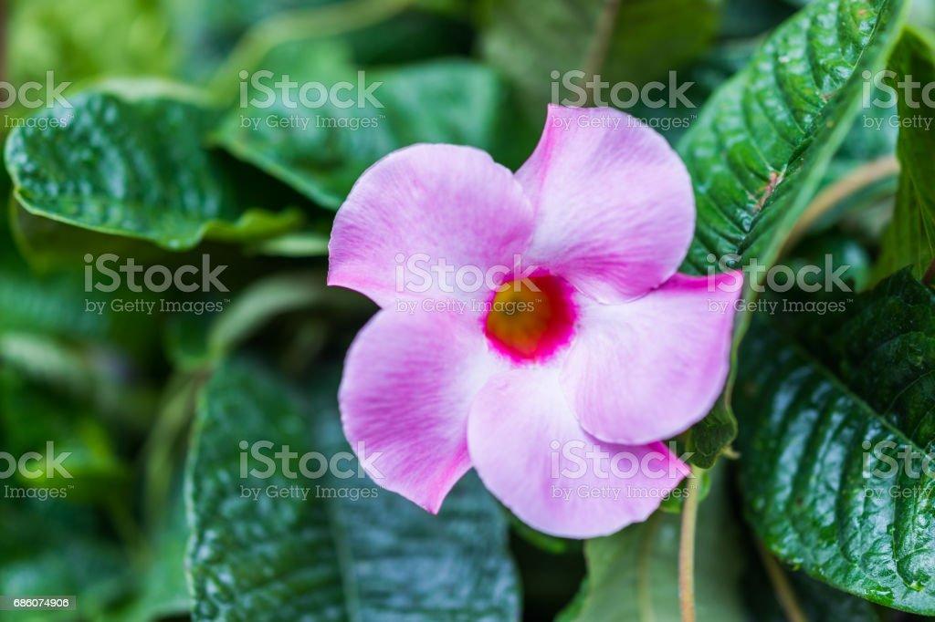 Macro closeup of one pink mandevilla flower with bokeh stock photo