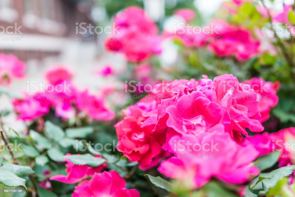 Macro closeup of red and pink blooming roses showing detail and texture stock photo