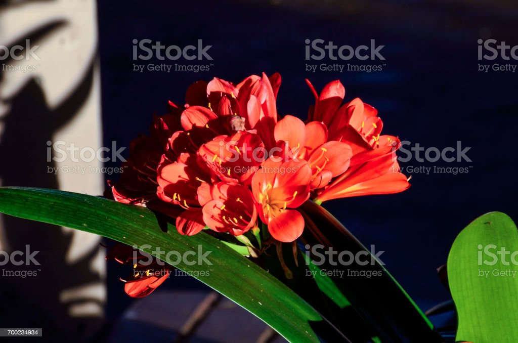 Macro closeup of red orange clivia flowers stock photo