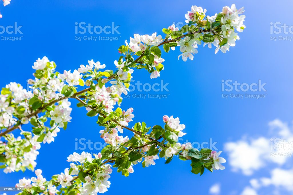 Macro closeup of white and pink apple blossoms growing on tree with vibrant blue sky stock photo