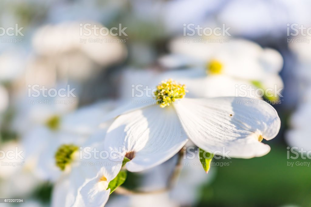 Macro closeup of white dogwood flowers on tree stock photo