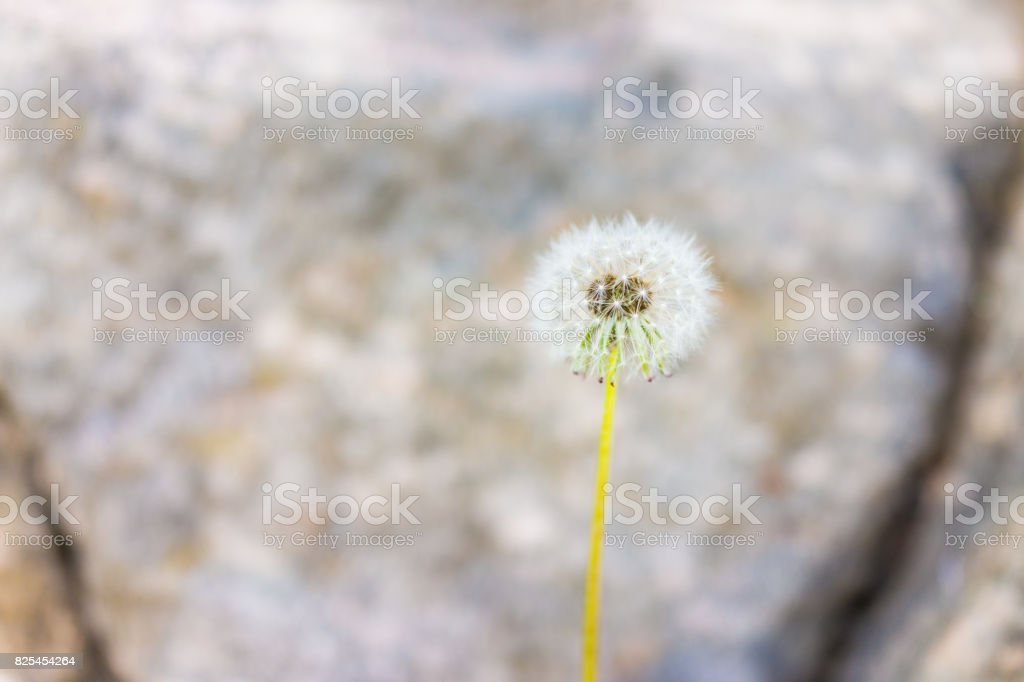 Macro closeup of white fluffy dandelion with seeds against rock background showing bokeh, detail and texture stock photo