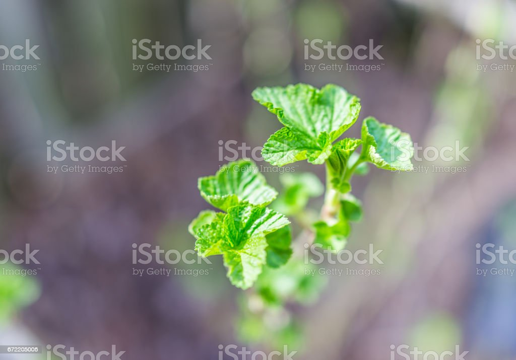 Macro closeup of young black currant leaves on stem of plant bush with bokeh stock photo