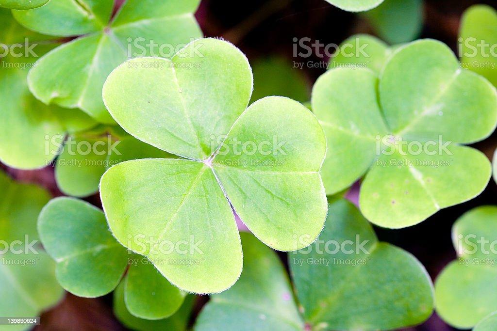 Macro clover stock photo