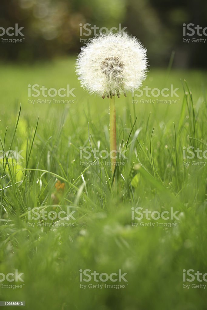 macro dandelion in green land royalty-free stock photo
