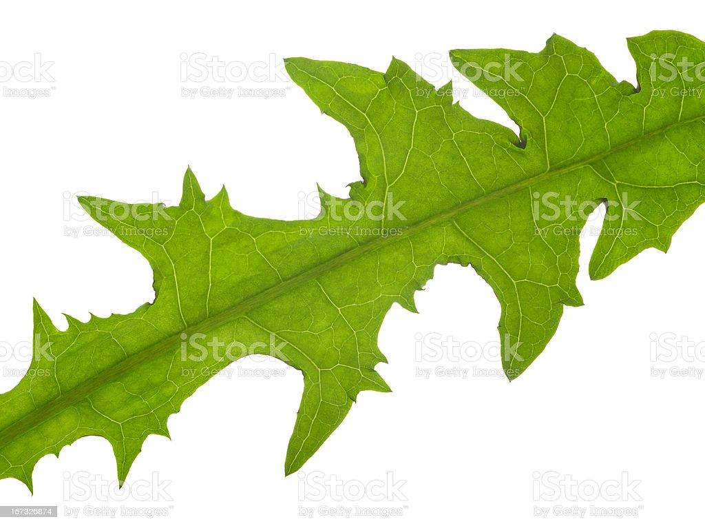 macro dandelion leaf royalty-free stock photo
