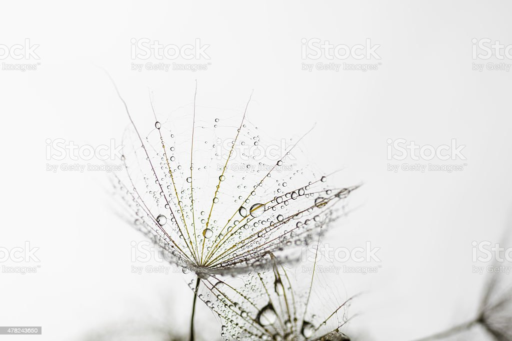 Macro dandelion seed flies with water drops in abstract background stock photo