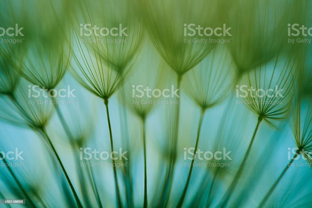 Macro dandelion seed stock photo