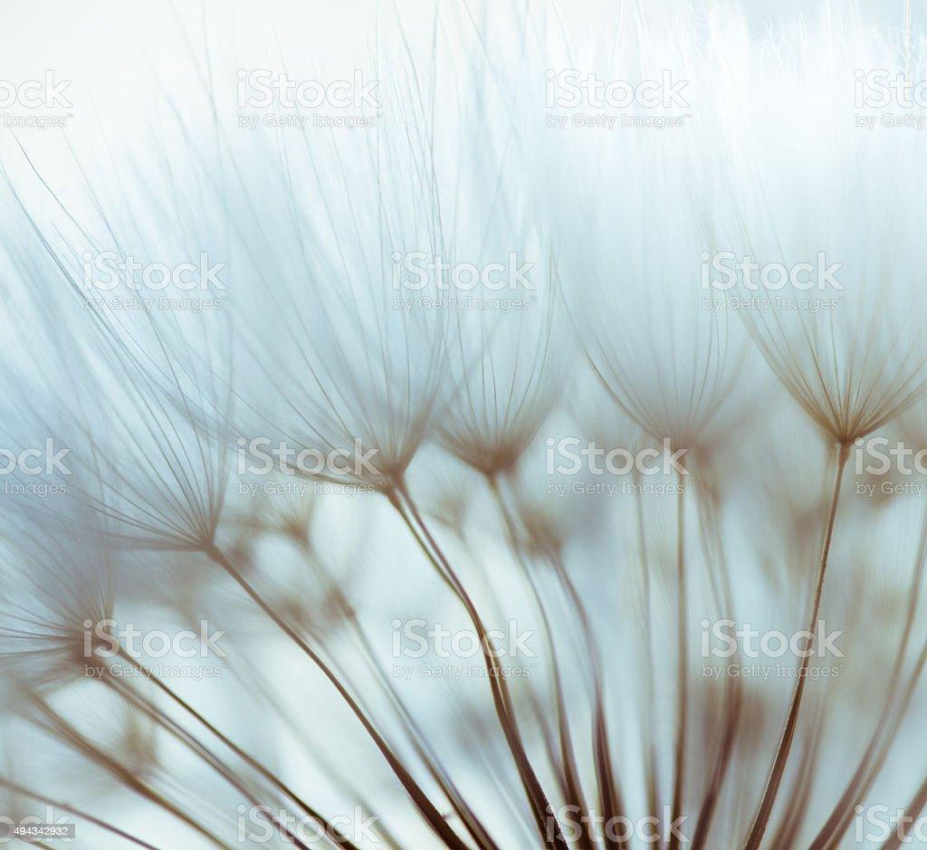 Macro dandelion seed stock photo