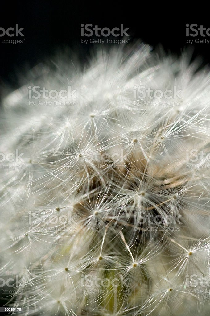 Macro Dandelion Seed royalty-free stock photo