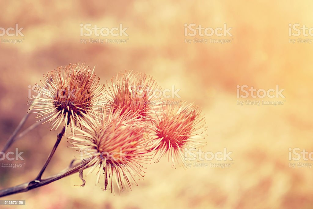 Macro detail of dry thistle flower with warm sunlight stock photo