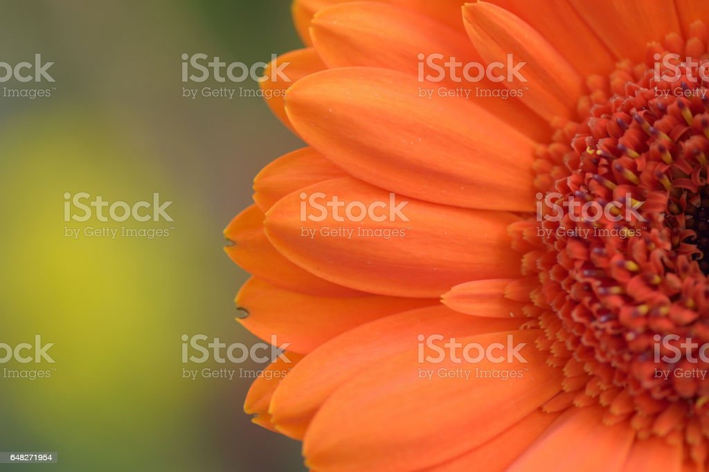 Macro details of orange colored Daisy flower with blurred background stock photo