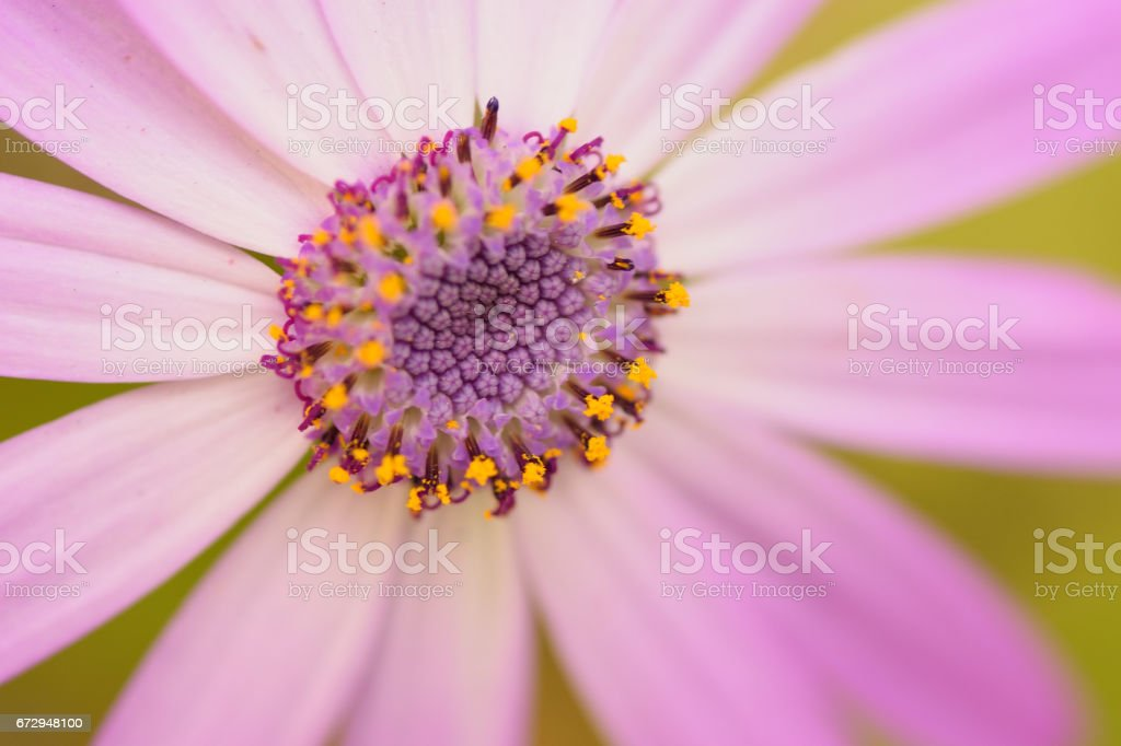 Macro details of purple colored Daisy flower in horizontal frame stock photo