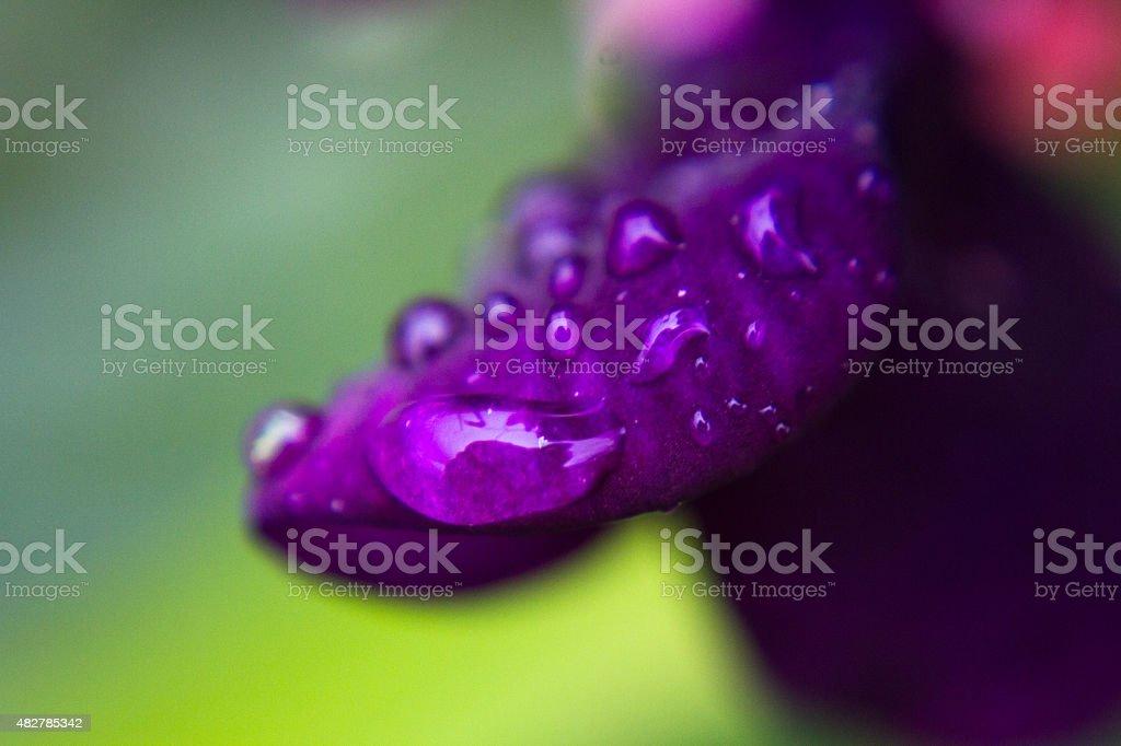 macro dew drops on purple flower petal stock photo