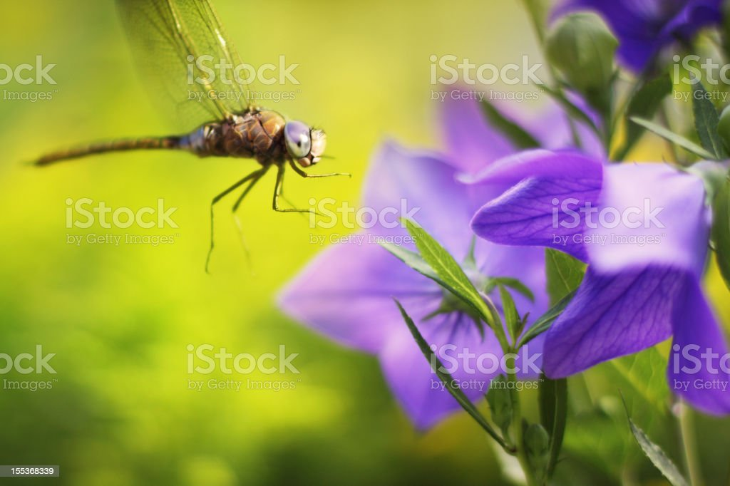Macro dragonfly and bluebell flower royalty-free stock photo
