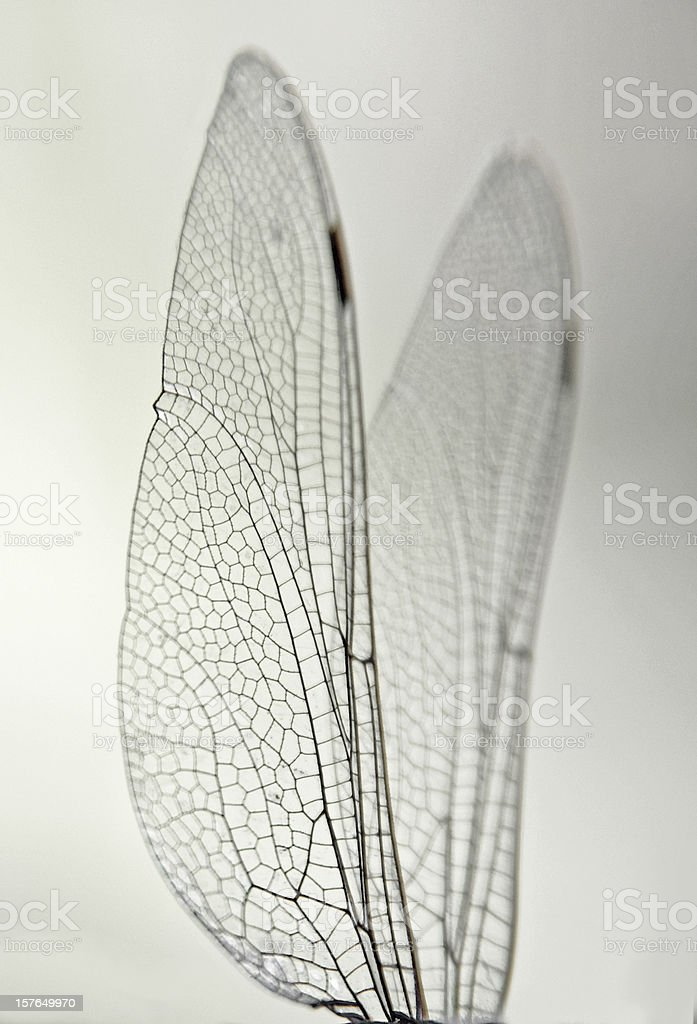 Macro Dragonfly Wings royalty-free stock photo