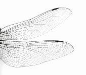 Macro Dragonfly Wings
