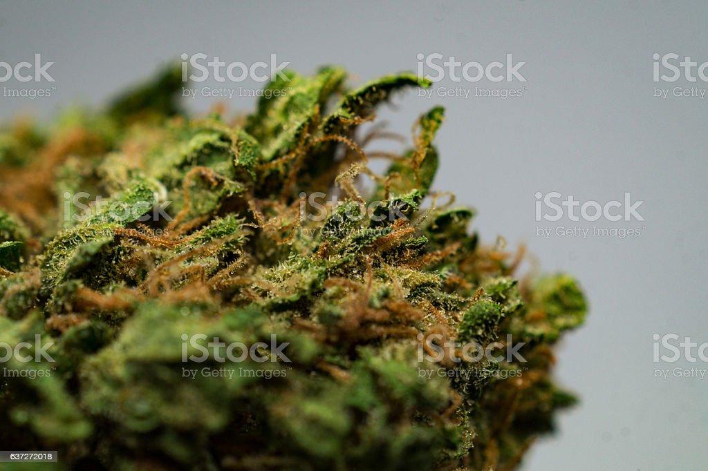 macro: dry cannabis / marijuana plant stock photo
