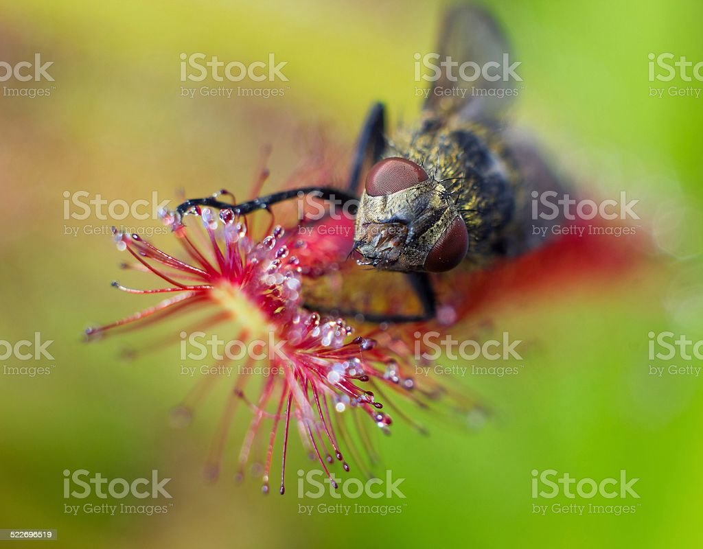 Macro face of fly catched by Sundew (drosera) stock photo