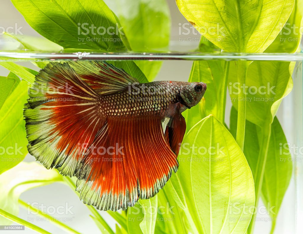 macro fighting fish in a natura stock photo