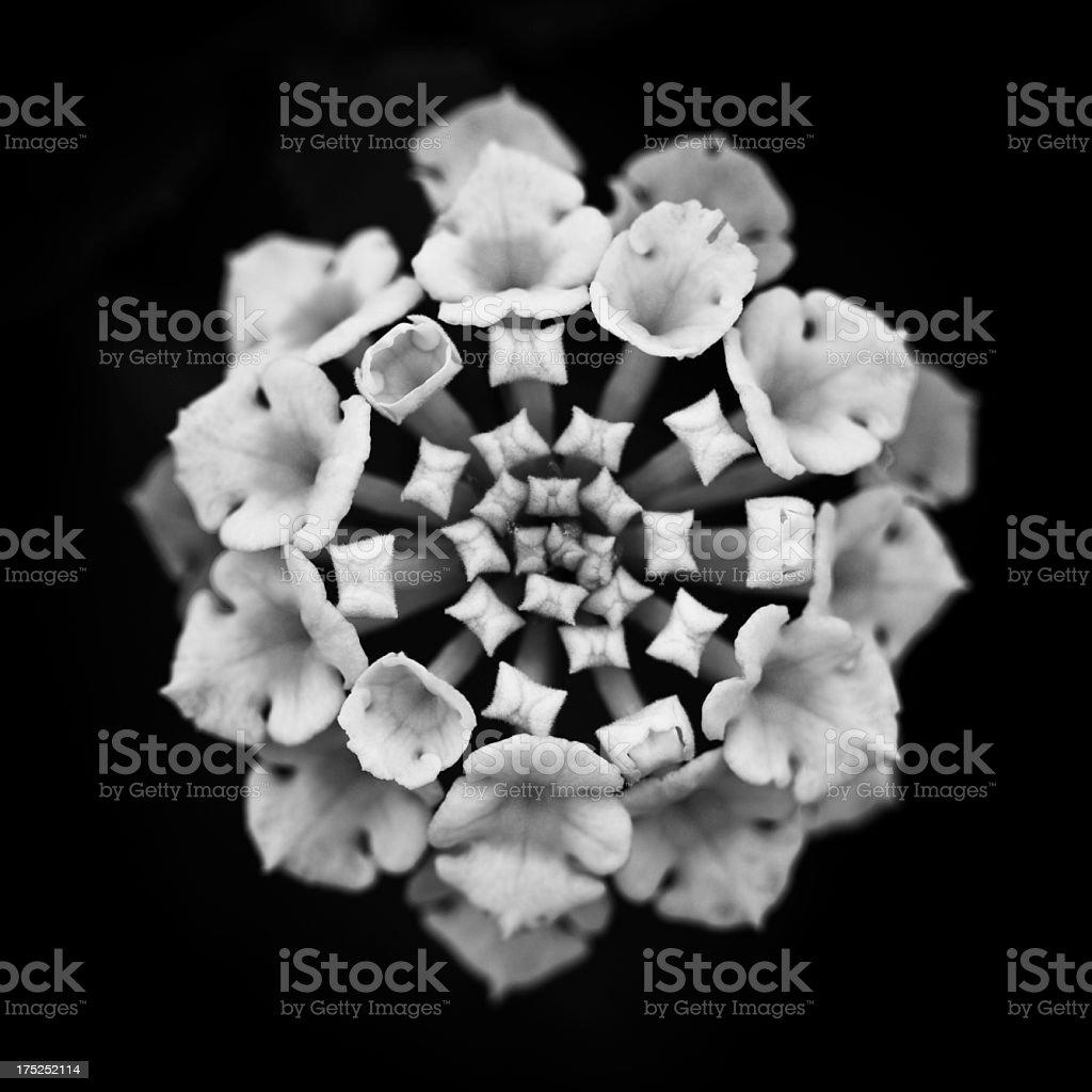 macro flower on black royalty-free stock photo