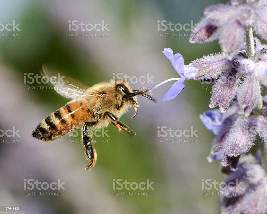 Macro Flying Honey Bee (Apis mellifera) Landing on Purple Flowers royalty-free stock photo
