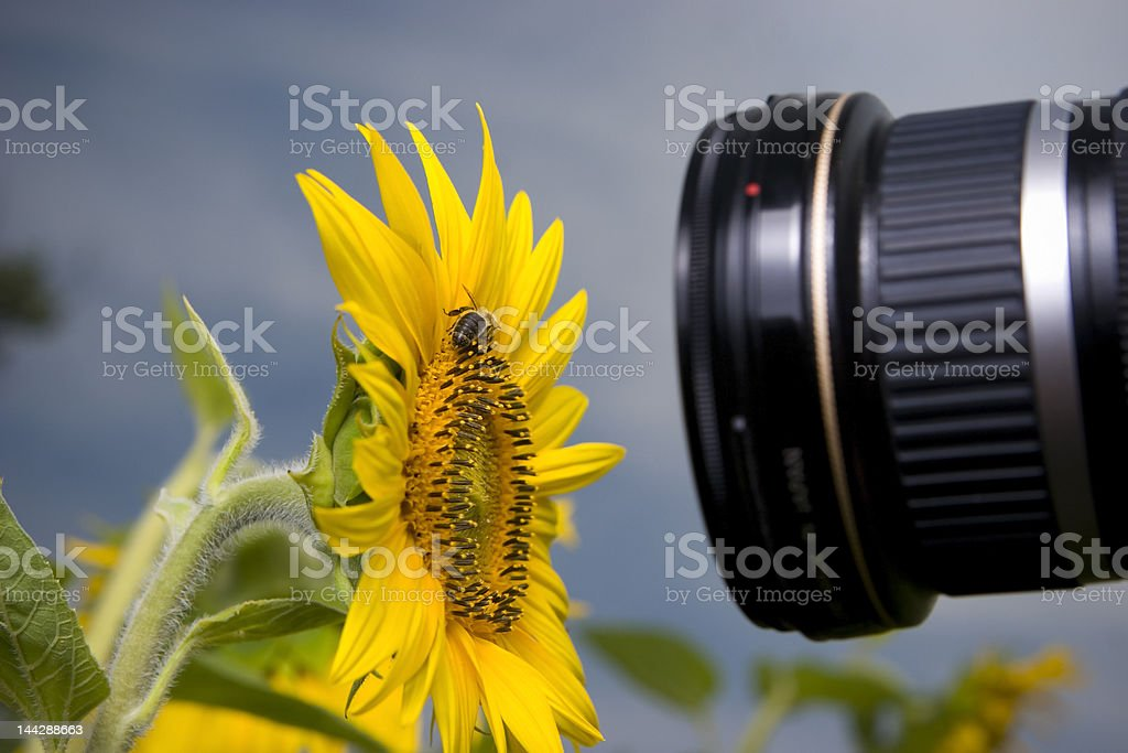 Macro fotography of sunflower and bee royalty-free stock photo