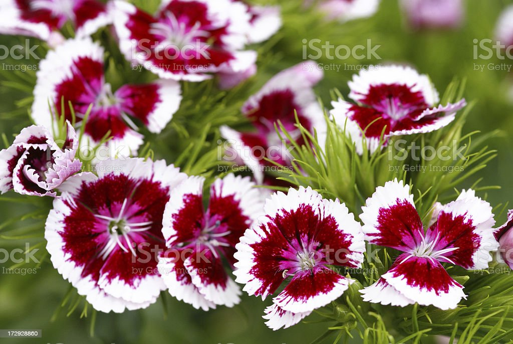 Macro from a red-white sweet william flower stock photo