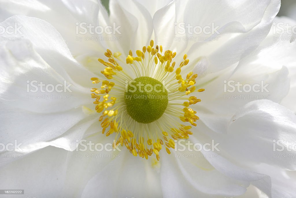 Macro from a white fall anemone royalty-free stock photo