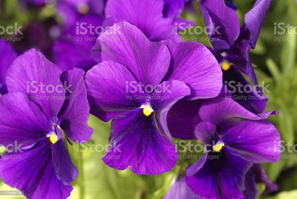 Macro from purple pansies royalty-free stock photo