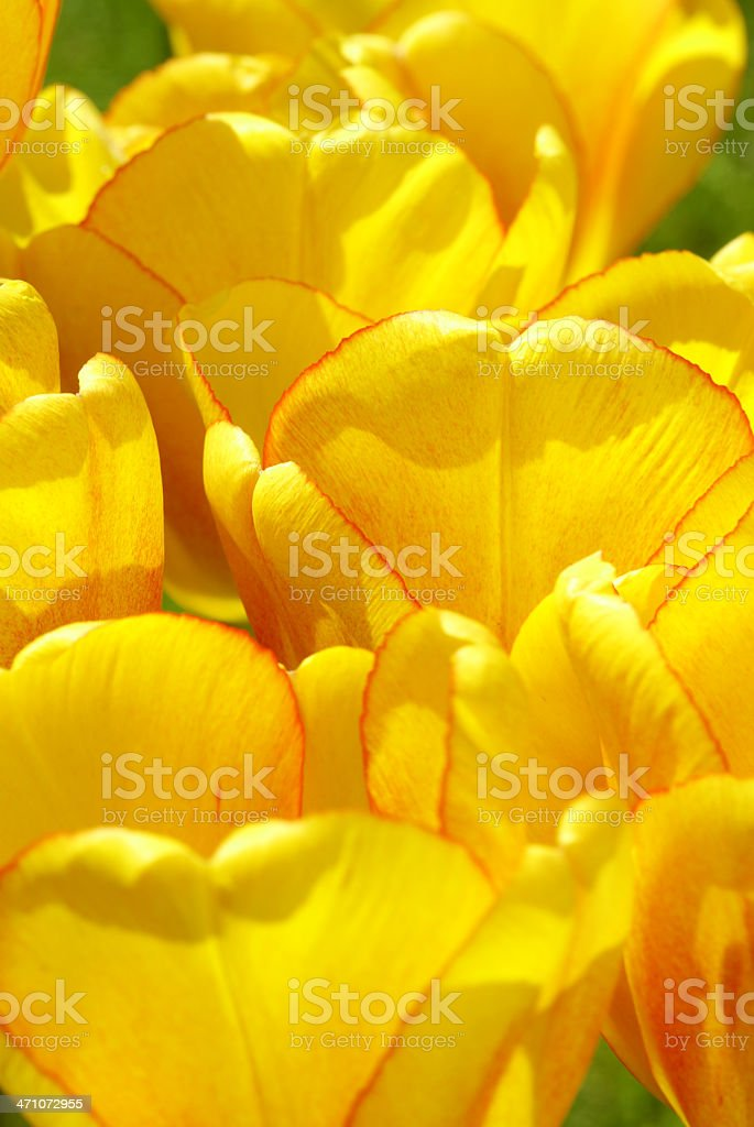 Macro from yellow-red tulips royalty-free stock photo