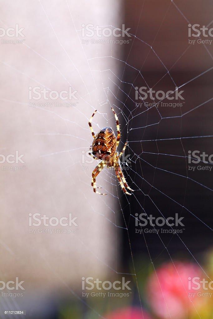 macro garden orb spider stock photo