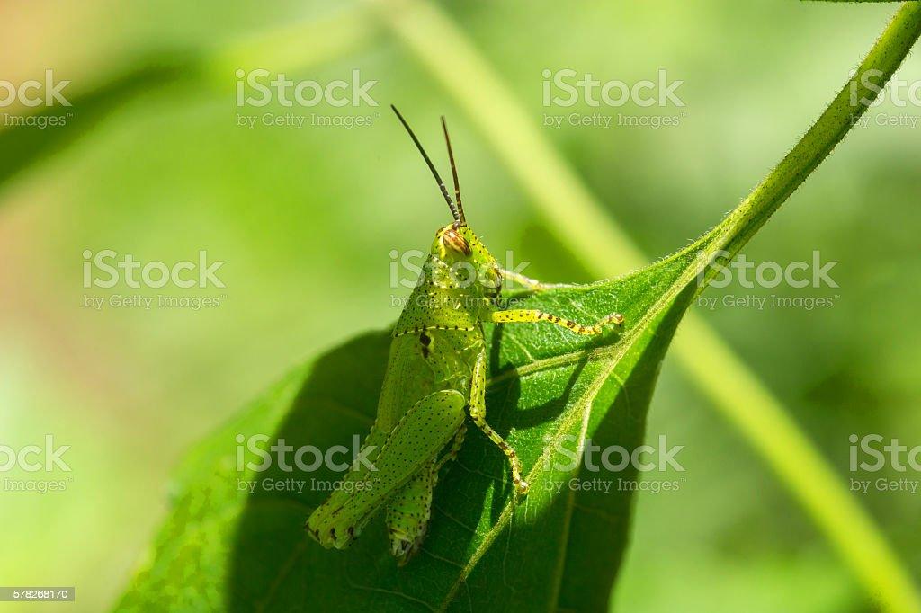 Macro Grasshopper inside a forest. stock photo