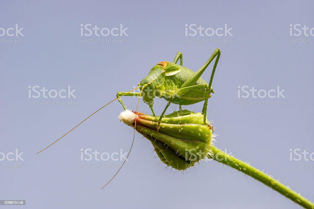 macro grasshopper stock photo
