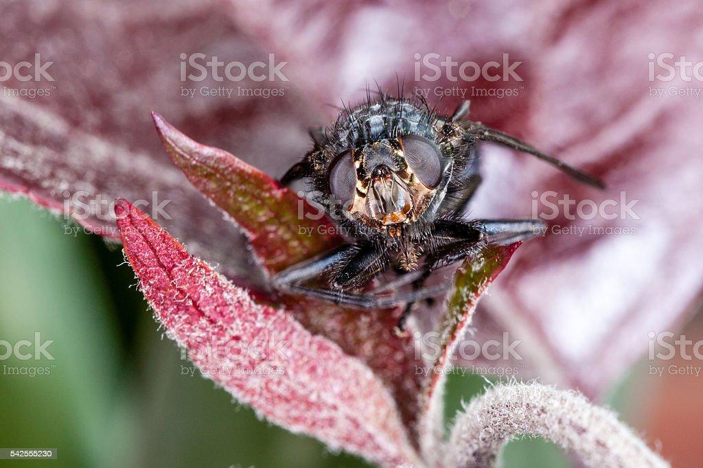 Macro head shot of a house fly (Blue Bottle Fly) stock photo