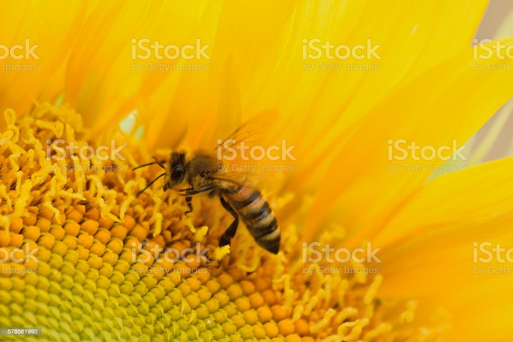 Macro Honeybee collecting pollen from large Sunflower stock photo