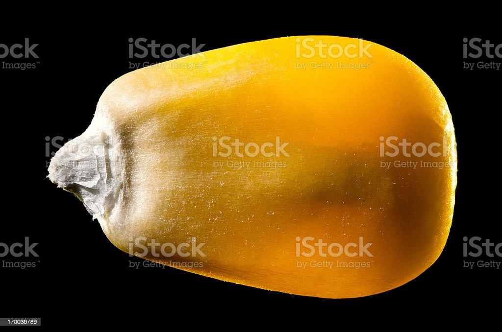 Macro Image of a Single Corn Kernel Isolated on Black stock photo