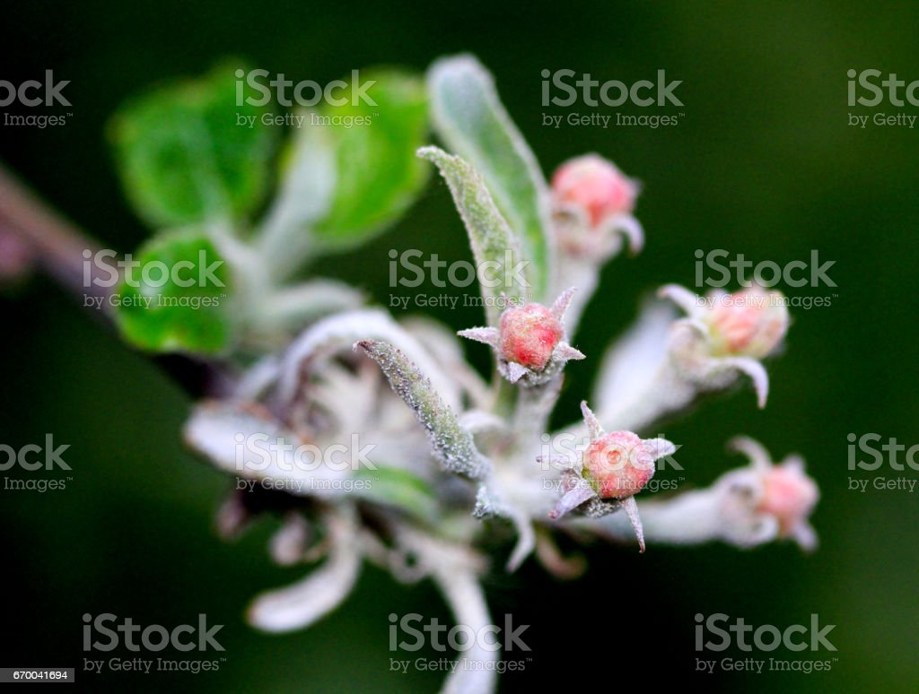macro image of a tree blossom in spring infected by powdery mildew stock photo