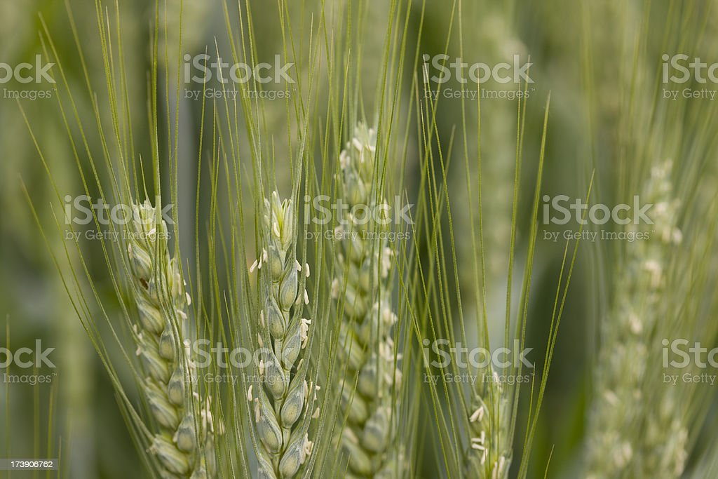 Macro image of green wheat stalks in a field stock photo
