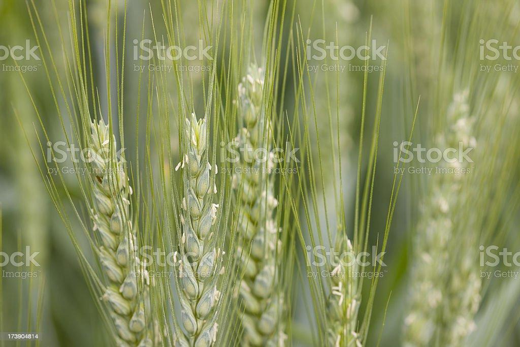 Macro image of green wheat stalks in field stock photo