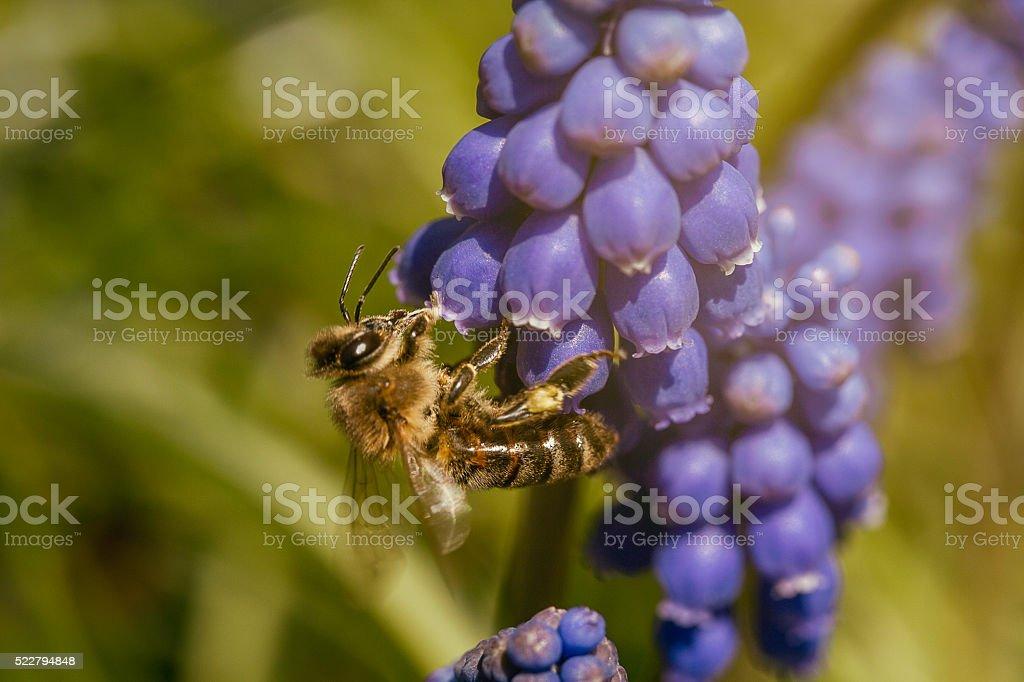 Macro Image of Honey Bee stock photo